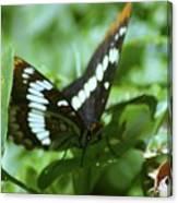 A Summer Butterfly  Canvas Print