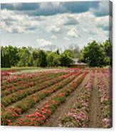 A Summer Dream Of Roses Canvas Print