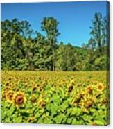 A Sunflower Day Canvas Print