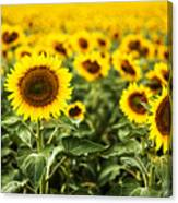 A Sunflower Plantation In Summer In South Dakota Canvas Print
