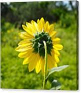 A Sunflower's Backside Canvas Print