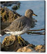 A Surfbird At The Tidepools Canvas Print