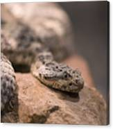 A Tiger Rattlesnake At The Henry Doorly Canvas Print