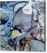 A Titan Triggerfish Faces Canvas Print