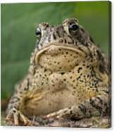 A Toad Appears To Be Frowning He Sits Canvas Print
