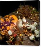 A Ton Of Tunicates Canvas Print