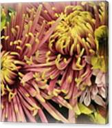 A Touch Of Yellow On Pink Mums Canvas Print