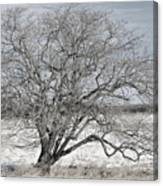 A Tree In Canaan Canvas Print