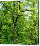 A Tree In The Woods At The Hacienda  Canvas Print