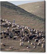 A View Of Sheep In The Judean Desert Canvas Print