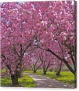 A Walk Down Cherry Blossom Lane Canvas Print