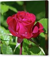 A Watered Rose  Canvas Print