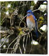 A Western Bluebird In A Tree Canvas Print