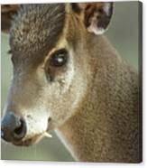 A Western Tufted Deer Elaphodus Canvas Print