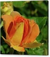 A Wet Rose  Canvas Print