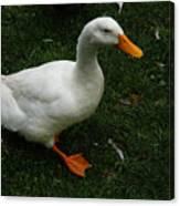 A White Duck Canvas Print