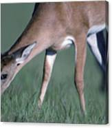 A White-tail Deer Munches On Some Green Canvas Print