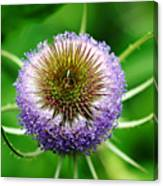 A Wild And Prickly Teasel Canvas Print