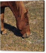 A Wild Pony In Assateague Canvas Print