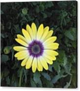 A Yellow Daisy Exhibit Canvas Print