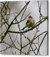 A Yellow-rumped Warbler In The Evening Canvas Print