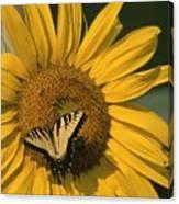A Yellow Swallowtail Canvas Print