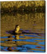 A Young Duckling Canvas Print
