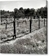 Abandoned Dried Old Vineyard Canvas Print