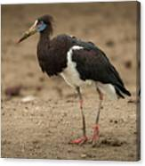 Abdim Stork Walks Right-to-left Across Muddy Ground Canvas Print