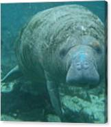 About To Meet A Manatee Canvas Print
