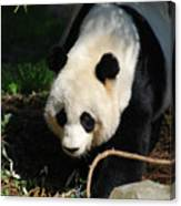 Absolutely Beautiful Giant Panda Bear With A Sweet Face Canvas Print