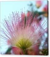 Acacia Bloom Canvas Print