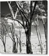 Acacia Tones Canvas Print