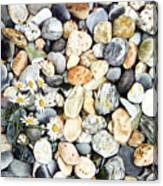 Acadian Daisies Canvas Print