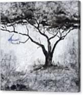 Acasia Tree Canvas Print