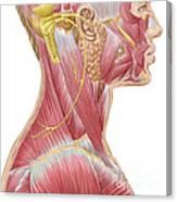 Accessory Nerve View Showing Neck Canvas Print