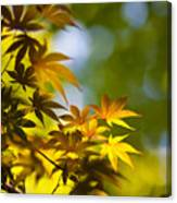 Acer Glow Canvas Print