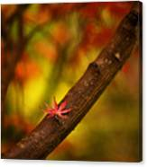 Acer Resting Canvas Print