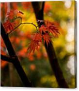Acer Silhouette Canvas Print