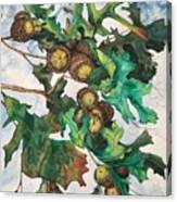 Acorns On An Oak  Canvas Print