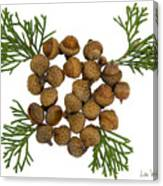 Acorns With Cedar Canvas Print