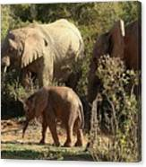 Addo Elephant Family Canvas Print