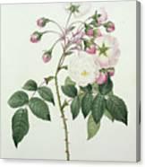 Adelia Aurelianensis Canvas Print