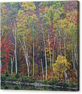 Adirondack Birch Foliage Canvas Print