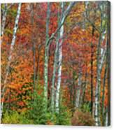 Adirondack Birches In Autumn Canvas Print