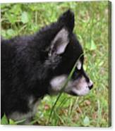 Adorable Alusky Pup Creeping Through Tall Blades Of Grass Canvas Print