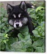 Adorable Alusky Puppy Hiding In A Garden Canvas Print