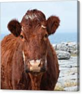 Adorable Brown Cow Standing On The Burren Canvas Print