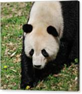 Adorable Face Of A Black And White Giant Panda Bear Canvas Print