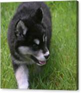 Adorable Fluffy Alusky Puppy Walking In Tall Grass Canvas Print